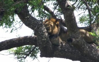 The Zulu Buffalo Horns - SafariKZN