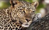 Leopard Mountain