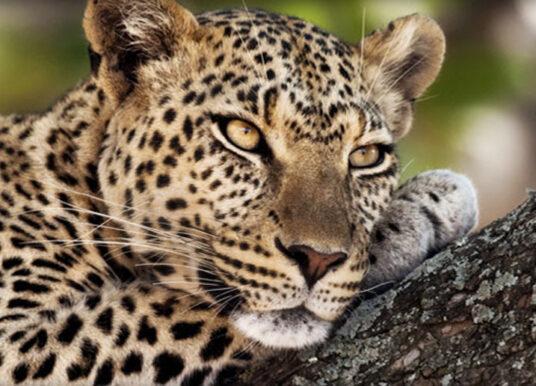 Leopard Mountain: Leopards Tale Newsletter January 2020