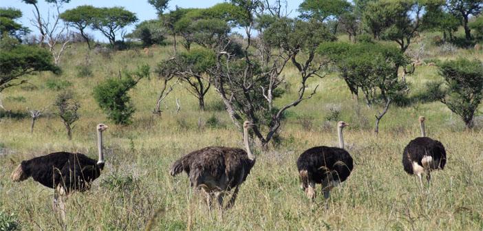 Weenen Game Reserve, Ostrich
