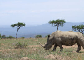 The White Rhinos of KwaZulu Natal