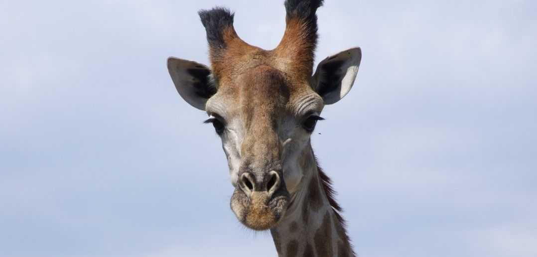 Why do giraffes have horns