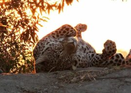 Leopard Mountain: The Leopards Tail Newsletter – June 2017