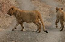 male lion cubs