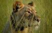 Tswalu Lioness