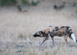 Mavela Game Lodge: Wild Dogs of Manyoni