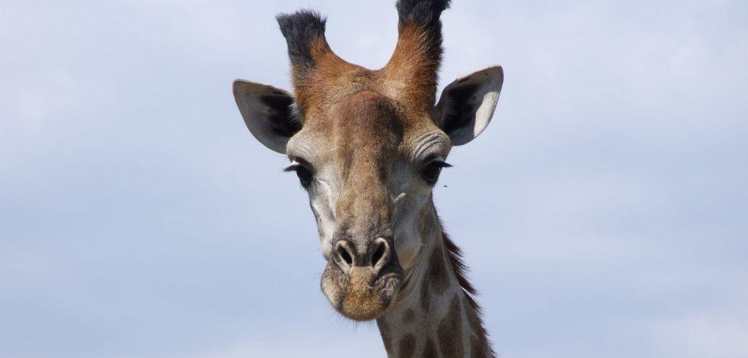 Why do giraffes have horns