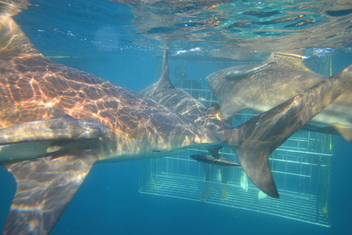 Shark Cage Diving, KwaZulu-Natal