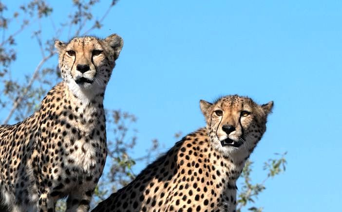 Mavela Game Lodge Cheetahs