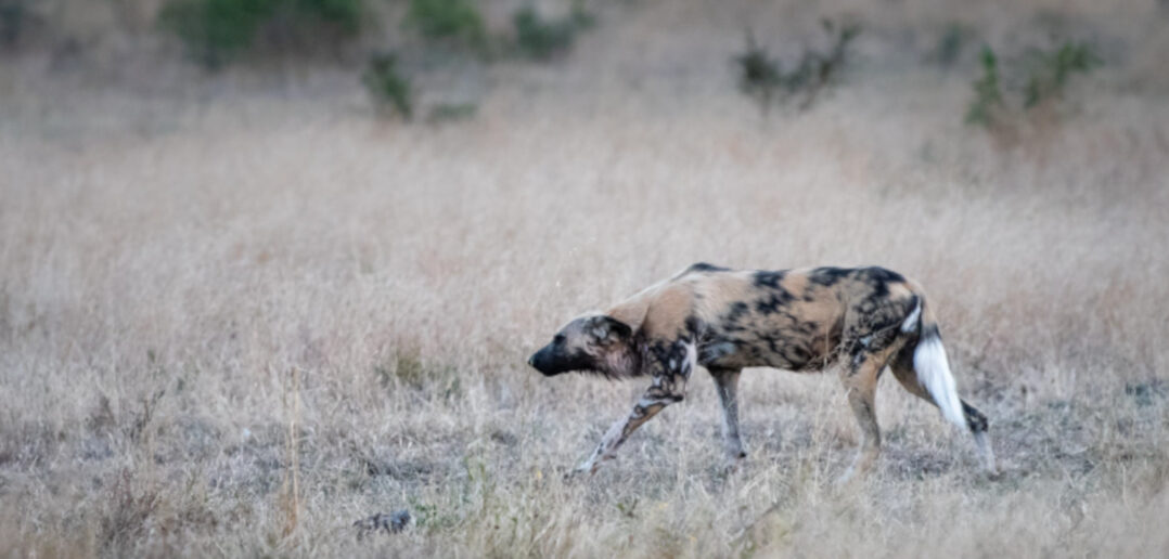 Wild Dogs of Manyoni
